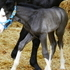 lue gray clydesdale/paint coltwarmblood sporthorse