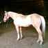 Beautiful paint gelding, very well broke, laid back
