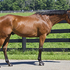 Bay TB gelding, 4 y.o. Quiet and Willing-  hunter or event prospect
