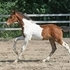 2012 Barock Pinto Colt**Friesian/Warmblood**
