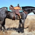Beautiful Blue Roan Gelding-Ranch/Trail Horse. Twombly Horse Sale!