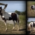 SHARP BLACK/WHITE TOBIANO FILLY GRANDDAUGHTER OF MULTI-WGC