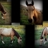 2012 BUCKSKIN TOBIANO FILLY - NICE COLOR AND MARKINGS