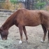 Tennessee Walking Horse gelding