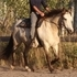 Beautiful buckskin Quarter Horse Cross