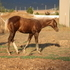 Reining, Working Cow, Roping all around stallion prospect