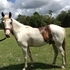 5 year old Paint Gelding