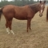Nice 2D Barrel Gelding. Finished on Barrels and Poles.