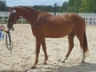 Awesome Wolkentanz II x Rouletto gelding