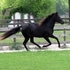 ***SOLD*** Jet black Kentucky Mountain/TWH filly, black mane/tail