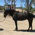 Zena-3 yr old Lusitano Mare, just under saddle. *Video now added!*