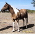 Beautiful Dun and White Homozygus Mare