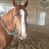 PRICE REDUCED! Meet Cash! 11 yr old grade gelding.