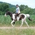 Tigger is an exceptional 6 yr old Black and White Spotted Saddle Horse gelding (smaller 14.3h)