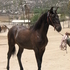 Zorro--Lusitano Stud Colt! *Video Now added!*