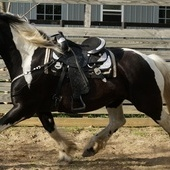 EXOTIC 17H BLACK & WHITE REGISTERED SPOTTED DRAFT DREAM HORSE