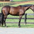 Gorgeous and Comfortable 9 yr, dark bay, Old/TB Gelding. Ideal Fox Hunter!