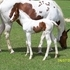 2015 APHA Tob/Overo Filly