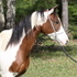 REDUCED - STUNNING BAY / WHITE TOVERO HALF ARABIAN MARE