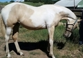 FABULOUS FILLY LUSITANO/WARMBLOOD