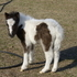 Miniature Black and White Filly AMHA and AMHR Registered