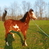 FLASHY Little Filly~ Welsh cross pony