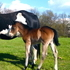Beautiful 2015 APHA Dark bay/ Seal Brown Colt