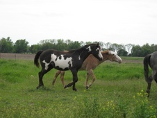 Black overo filly - Maxs Royal Lily