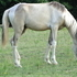 Buckskin Spotted Filly