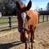 Handsome OTTB needs new home