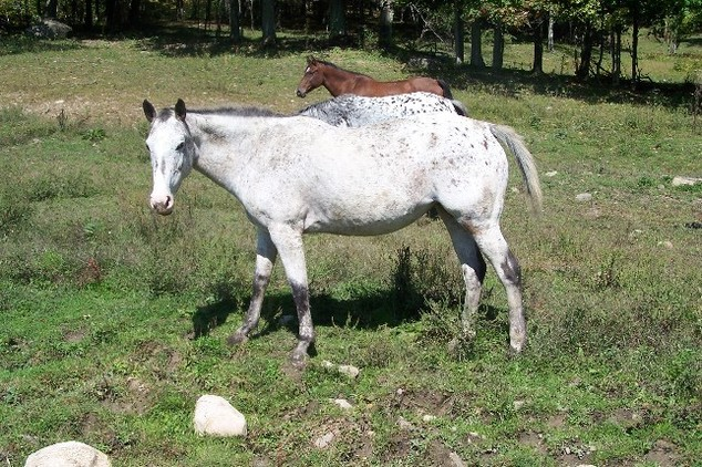Athletic mare, roan leopard
