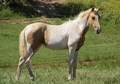 Dark Palomino Spotted TWH Filly