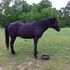 Big Black Tennessee Walker