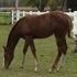 Appaloosa Filly for sale