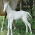 Taffy's Perlino Colt