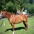 pretty QH gelding for sale