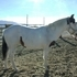 2011 APHA Bay Tovero Stallion JUST REDUCED