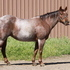 Proven Heel Horse Money earner-AQHA Pts