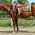 HANDY & Speedy Cow Bred Using Gelding
