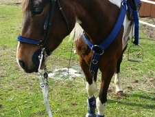 Tobino Tennessee Walking Horse Sweet & Curious Personality