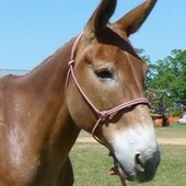 Kenny - Gentle Mule Gelding