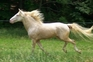 At Stud - Guaranteed buckskin or palomino foals for sale in United States of America