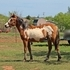 2014 Paint/Halflinger Filly For Sale MOTIVATED SELLER!!