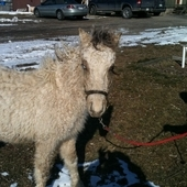 REDUCED to $950 Rare Curly Pony Buttermilk Silver Buckskin Pinto ...