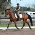 Affectionate, Flashy Dressage Horse for sale