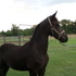 Purebred Friesian Filly for Sale