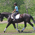 ANTEL WHF**Friesian/Warmblood Sporthorse - Advanced Dressage Potential