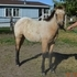 Buckskin Roan Filly