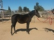 Very kind 3/4 Andalusian filly. Ready for her new home