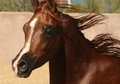 Georgeous gelding by Montana Firenze